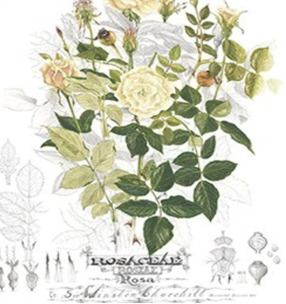 Sir Winston Churchill Rose 'Botanic Plate' Limited Edition Print featured image